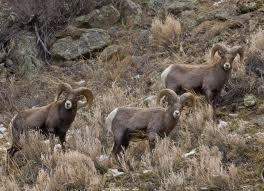 Arkansas Bighorn Sheep Canyon